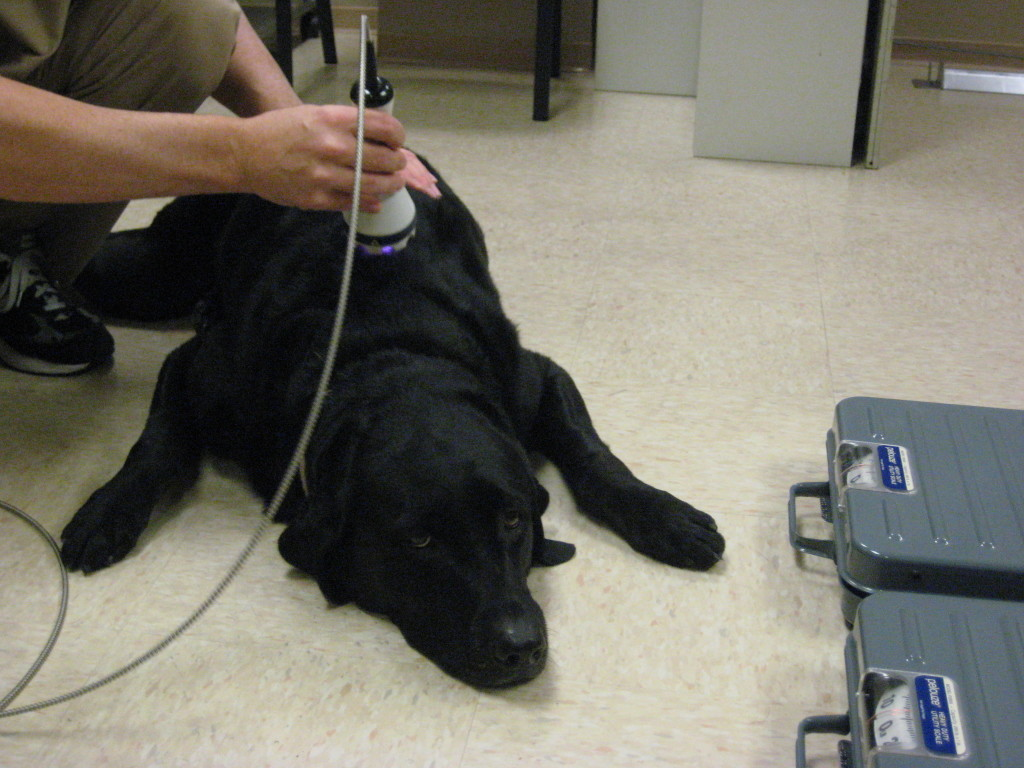 Laser Therapy For Arthritic Dogs Olsen Veterinary Clinic