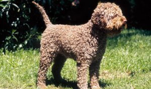 Lagotto Romagnollo