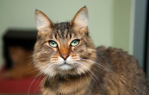Common Health Problems In Senior Cats