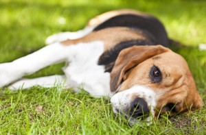 beagle-laying-on-the-grass