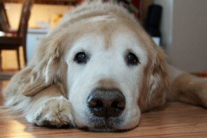 4-Tips-on-How-to-Feed-a-Dog-with-Diabetes